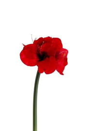 The Birch Tree Amaryllis Spray - Front cropped