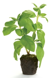 Napa Home & Garden Basil Plant Drop-In - Product Mini Image